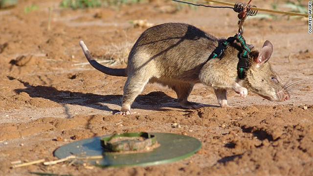 In the final stage of training, mine-detection rats demonstrate their abilities at a training field at Morgoro, Tanzania -- the second largest in the world. It has over 1,500 mines, over 14 types are used during different training stages.