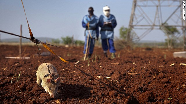 Tanzania-based NGO Apopo trains giant African pouched rats to sniff out land mines and detect tuberculosis -- two scourges that have had a tremendously negative impact on the African landscape.