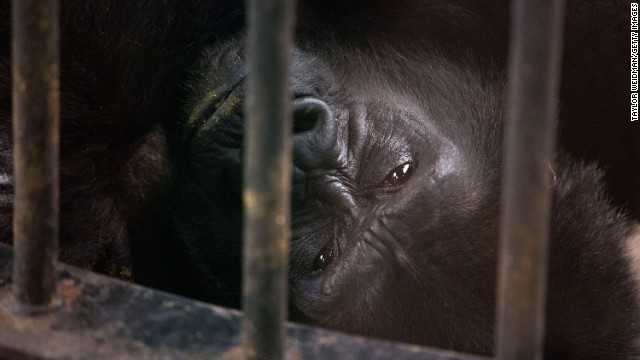 SEPTEMBER 26 - BANGKOK, THAILAND: Bua Noi, Pata Zoo's only gorilla, rests in her enclosure. Located on the sixth and seventh floors of the aging Pata department store, the zoo is being criticized for having cramped, inadequate facilities. A recent campaign to free Bua Noi has received over 35,000 signatures and the chief of Thailand's Department of National Parks, Wildlife and Plant Conservation has agreed to meet with activists to discuss the matter.