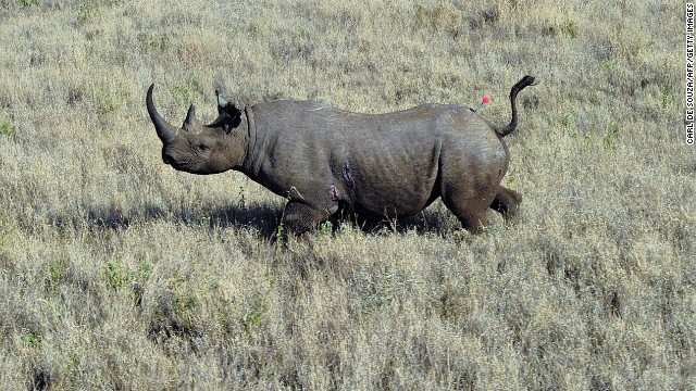 Poachers and hunters are responsible for the early decline of black rhino population.