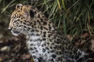 El leopardo del Amur