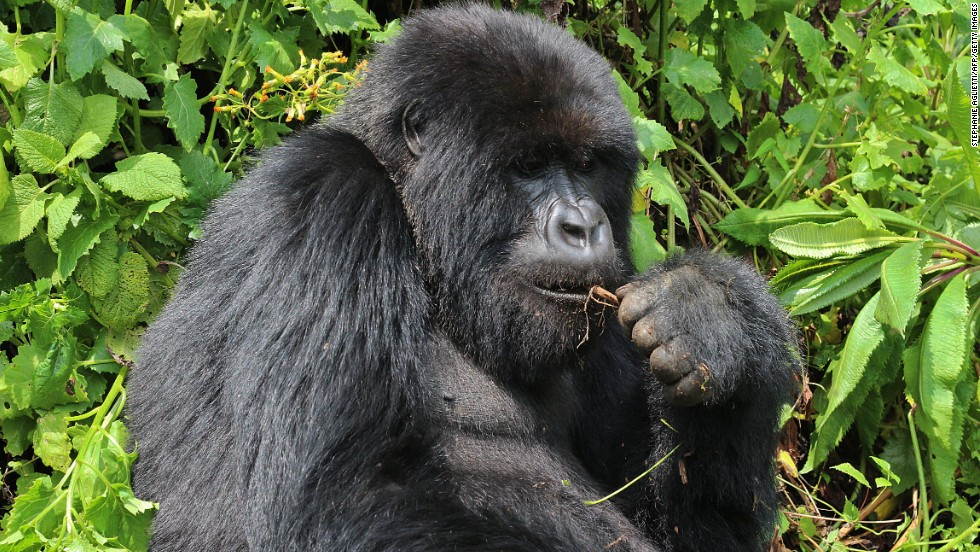 El gorila de montaña
