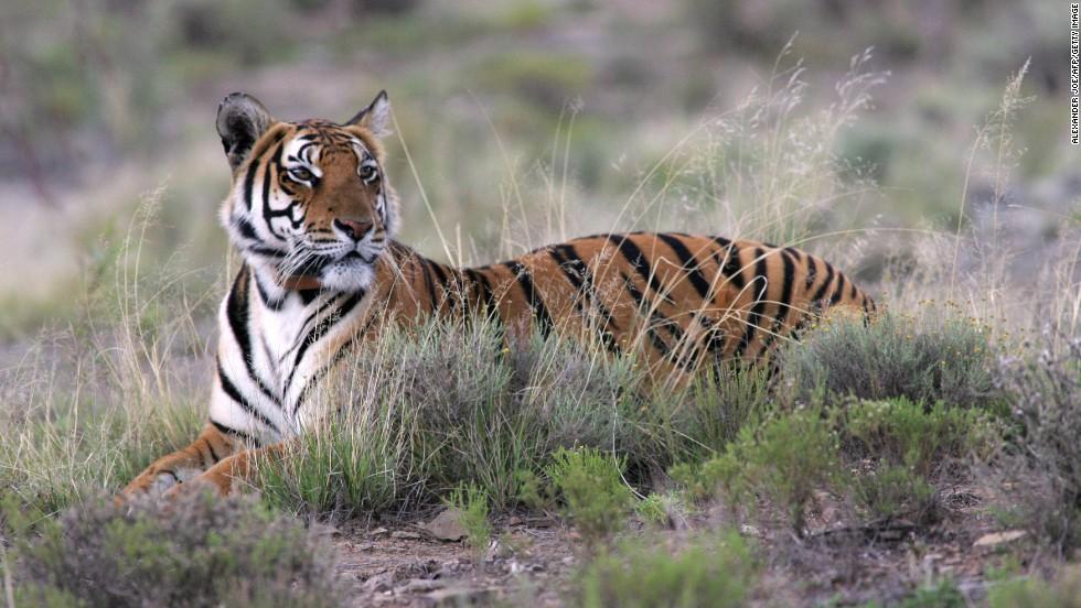 El tigre del sur de China