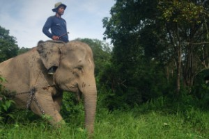El elefante de Sumatra