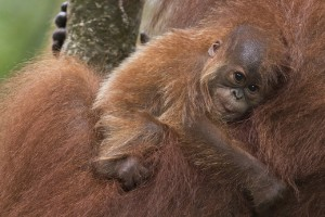 El orangután de Sumatra