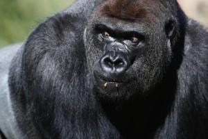 El gorila occidental de llanura