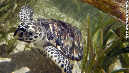 In this photograph taken on April 20, 2010, four month old Hawksbill turtles swim into the sea after a symbolic release by conservationists at the Thousand Islands National Marine Park in Pramuka island north of Jakarta. Hawksbill turtles, known by their scientific name Eretmochelys Imbricata, are listed as an endangered species by the International Union for the Conservation of Nature and Natural Resources. Hunted for their flesh, shell and eggs, plus destructive fishing methods have threatened the survival of the sea turtle. Indonesia's conservation efforts include aiming to stop the illegal trade of Hawksbill turtle products and protect its natural nesting grounds. AFP PHOTO / ROMEO GACAD (Photo credit should read ROMEO GACAD/AFP/Getty Images)