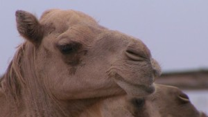 912d8b385d Could your next burger be camel meat? - CNN.com
