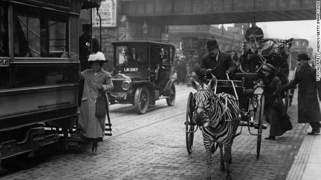 "Here a zebra pulls a carriage in London, 1913. In fact, many old photographs purporting to be of zebras were of painted horses. ""Always look to see if they have tails,"" says Witheford. ""Zebras don't have tails like horses, they're more like a lion's."""