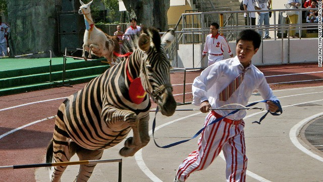 Many have tried to train the wild African animal. Here, a zebra is led over a hurdle during the 2006 Animal Olympics in Shanghai.