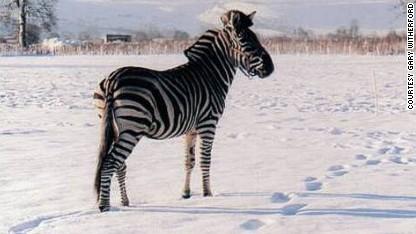 Queen's 'horseman' tames zebras