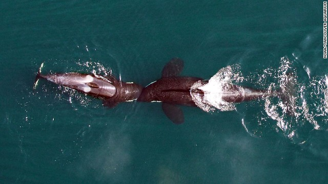 Killer whales from above
