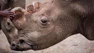 Sólo quedan 6 rinocerontes blancos en el mundo