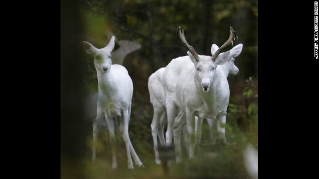 Albino deer seen in Boulder Junction, Wisconsin in 2007.