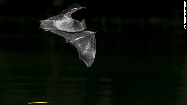 "Jim Heston takes nightly swims at a pool near Cambodia's Mekong River but he's rarely swimming alone. During the hot and dry months of March to May, the insects and bats know to head to the pool. Heston says he doesn't mind the company. ""Swimmers will do their laps while the bats feed,"" he said."