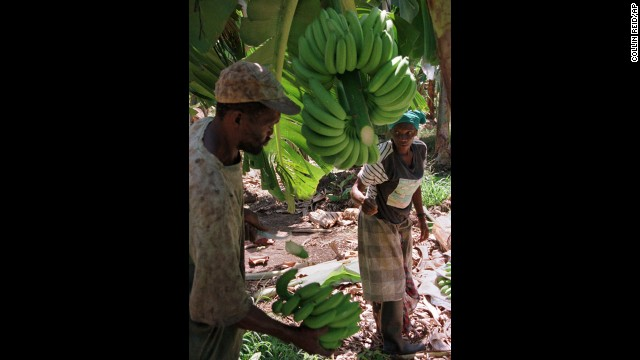 Jamaica gave birth to the global banana trade and Caribbean tourism. The banana industry waned in Jamaica in the face of crop disease and larger, more competitive plantations established in Central America.