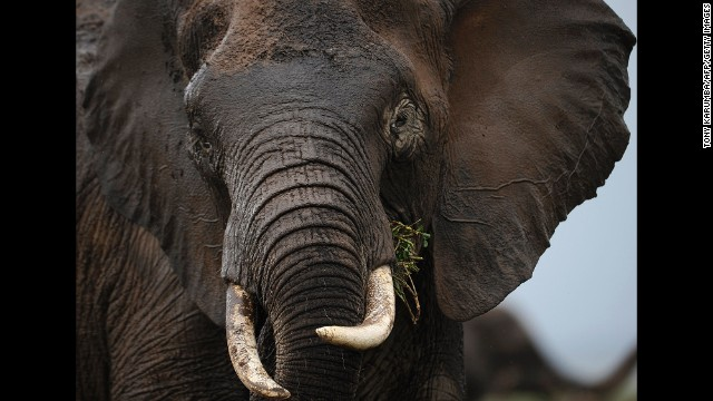 A study earlier this year showed that more African elephants are being killed each year than being born. Nations, states, cities should ban the ivory trade, says Leakey, and individuals should stop buying items of any kind that have ivory in them.
