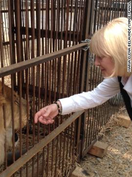 Leones rescatados en Perú