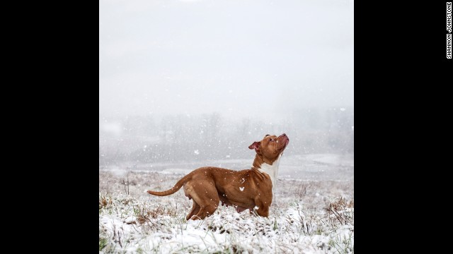 Rose, a 1-year-old female pit bull, plays in the snow. She was adopted after 54 days in the shelter system.