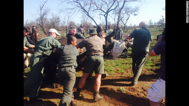 "SOUTH AFRICA: ""Rhino relocation by the very skilled SANParks team at Kruger National Park. 1,020 rhinos poached in SA so far this year. Once the poachers are inside the park, 'it's like a burglar in your house' say SANParks. You want to tackle the poacher problem outside the parks. But moving the rhino to a more protected area in the South, away from the Mozambique border, helps."" - CNN's Diana Magnay. Follow Diana (<a href='http://instagram.com/dimagnay' target='_blank'>@dimagnay</a>) and other CNNers along on Instagram at <a href='http://instagram.com/cnn' target='_blank'>instagram.com/cnn</a>."