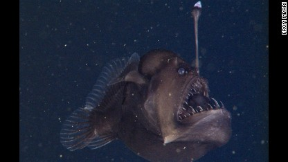 On November 17, 2014, researchers from the Monterey Bay Aquarium Research Institute (MBARI) used a type of undersea robot called a remotely operated vehicle to videotape this rare deep-sea anglerfish in Monterey Canyon, about 580 meters (1,900 feet) below the ocean surface.