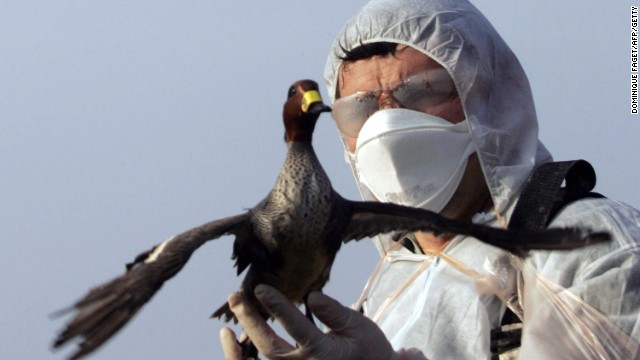 File photo: A worker sets free a wild duck after ringing the bird and taking biological samples of it.
