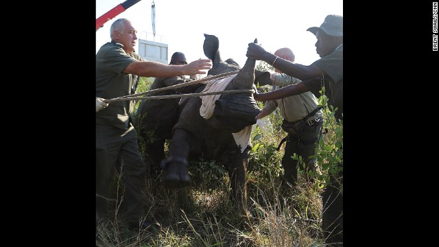 "SOUTH AFRICA: ""Kruger National Park's veterinary team slowly brings a captured rhino to its feet. This is 1 of 100s of relocations the team will perform in hopes of saving Kruger's rhinos from a poaching onslaught. We were there on assignment, invited by South African National Parks (SANParks) to observe its new rhino protection plan. Relocations play a huge role, darting rhinos from a helicopter, capturing them and relocating them from poaching hotspots along the border with Mozambique to newly established intensive protection zones further within the park. 2014 is again another record year for poaching, fueled by an insatiable demand in Asia for its horn."" - CNN's Brent Swails. Follow Brent (<a href='http://instagram.com/bsswails' target='_blank'>@bsswails</a>) and other CNNers along on Instagram at <a href='http://instagram.com/cnn' target='_blank'>instagram.com/cnn</a>."