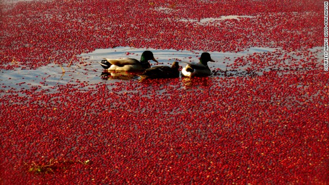 Happy Thanksgiving! These ducks sure look like they're enjoying a <a href='http://ireport.cnn.com/docs/DOC-1179461'>cranberry bog</a> in Yarmouth, Massachusetts.