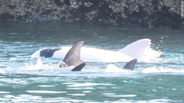 Cazadores japoneses capturan un raro delfín albino
