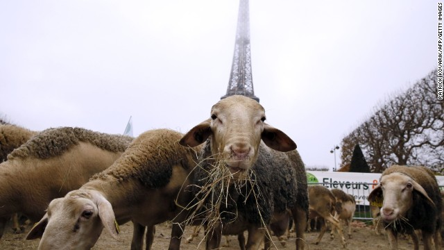 NOVEMBER 27 - PARIS: Sheep graze at the Champ de Mars near the Eiffel Tower in Paris during a protest by farmers demanding an effective plan to combat wolf attacks on flocks.