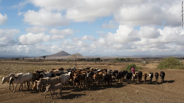 Nomadic Maasai tribes move from region to region in search of land for their cattle to graze on.