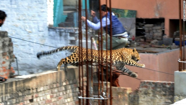 <strong>February 23:</strong> A leopard leaps near a furniture market in the Degumpur area of Meerut, India. The <a href='http://www.cnn.com/2014/02/25/world/asia/india-loose-leopard/index.html'>big cat sparked panic in the city</a> when it strayed inside a hospital, a cinema and an apartment block, an official said.