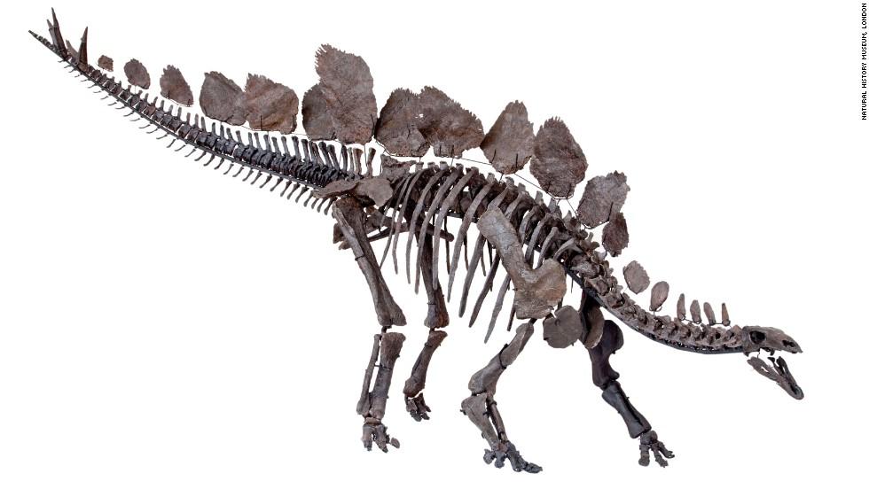 Así reconstruyen el esqueleto de estegosaurio más completo del mundo ...