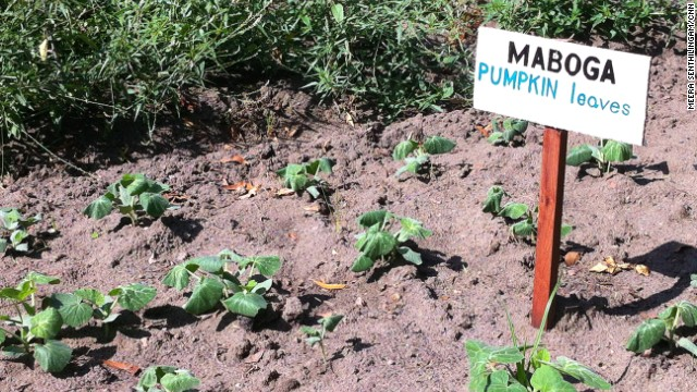Pumpkins grow in the RESEWO city garden in Dar es Salaam. Both pumpkins and pumpkin leaves are good sources of nutrients and can be incorporated into multiple recipes.