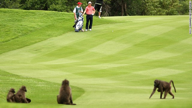 Luke Donald has had to cope with baboons on the course before at the Sun City event.