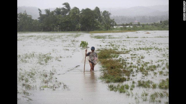 A man wades through a flooded rice field in Albay province of the Philippines on December 8.