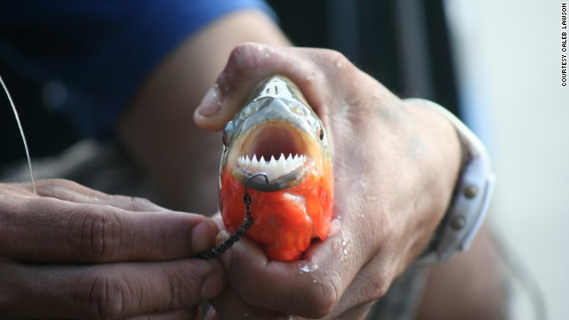 A <a href='http://ireport.cnn.com/docs/DOC-914944'>red-bellied piranha</a> shows off its razor-sharp teeth after being caught in a shallow lagoon in Peru's Amazon Basin.