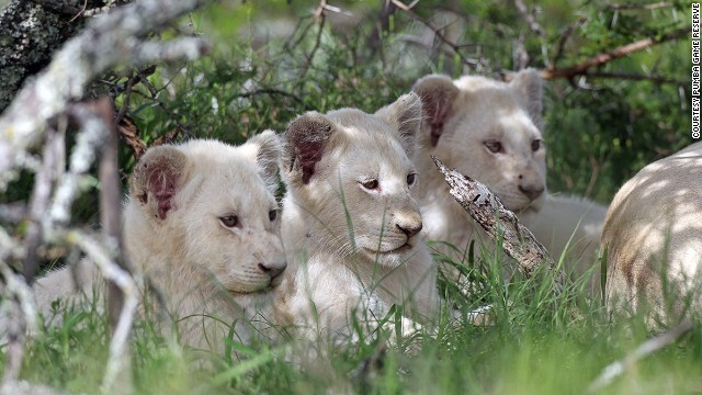 The Pumba Private Game Reserve reserve has hippos, hyenas and elands, but the eastern cape reserve's biggest draw are the white lions. The reserve is one of two homes for them in South Africa.