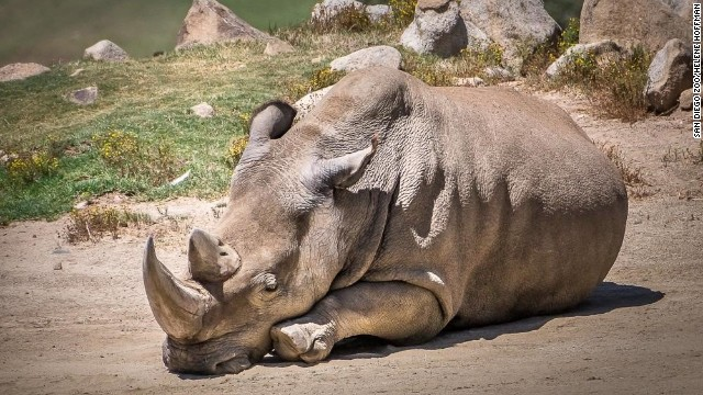 Man wants to kill black rhino, bring carcass to U.S....