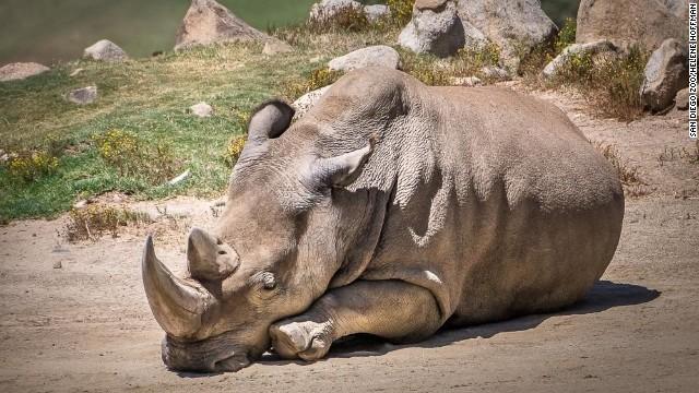 Fallece rinoceronte blanco del Norte en 'zoo' de San Diego y solo quedan 5 en el mundo