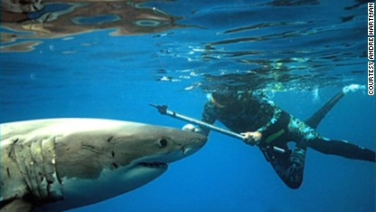 Freediving with great white sharks