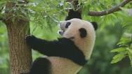 La pequeña panda Bao Bao tuvo el susto de su vida