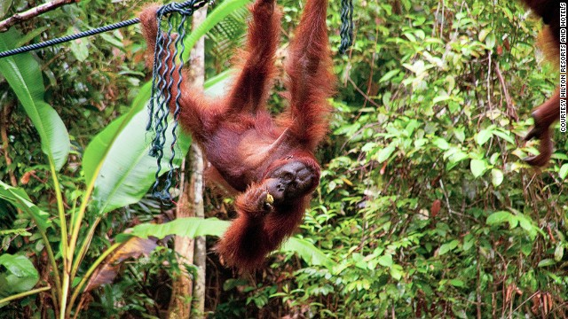 There are opportunities for ape closeups at the <a href='http://www.sarawakforestry.com/htm/snp-nr-semenggoh.html' target='_blank'>Semenggoh Wildlife Center</a>, where apes that have been injured or illegally kept as pets are looked after before being returned to the wild.