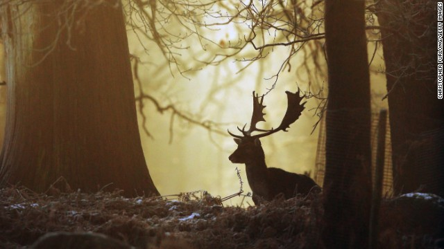 DECEMBER 28 -- ALTRINCHAM, UNITED KINGDOM: A deer waits in woodland as the rising sun begins to burn off overnight frost at the National Trust's Dunham Massey Park. Many parts of the UK had snowfall and below-freezing temperatures overnight.
