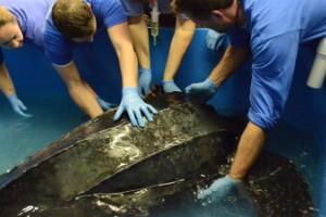 La tortuga laúd de 215 kilos