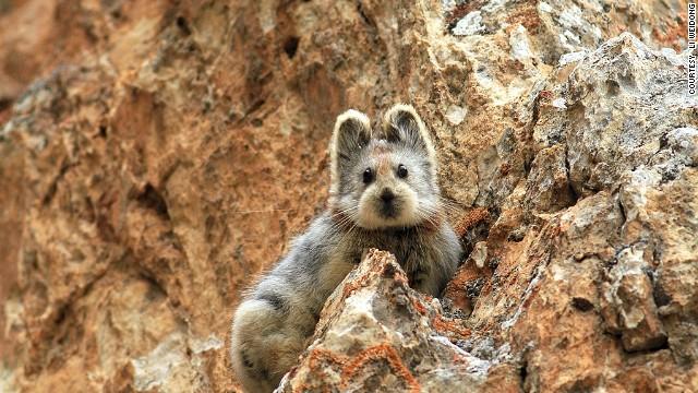 Conoce al Ili pika, un animal en peligro de extinción