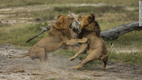 Cecil the lion (right, darker mane) fighting with a male lion called Jericho in May last year.