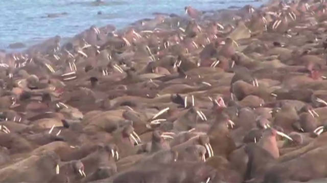 A mass hangout for walruses