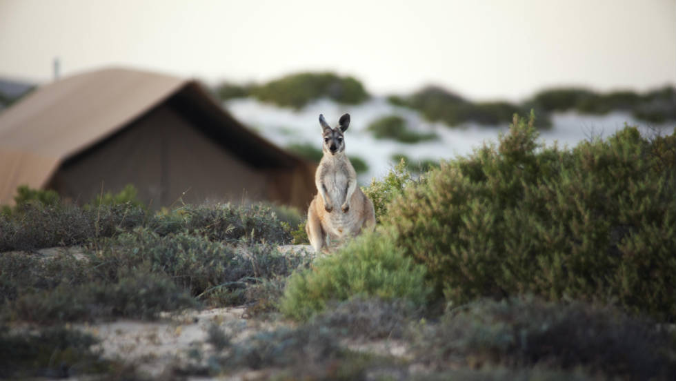 Sal Salis visitors are likely to encounter wallaroo and other Australian wildlife.