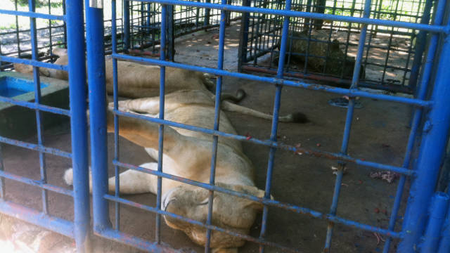 Two of the three rescued lionesses lie down in a cage in Panama before being rescued to Colorado.